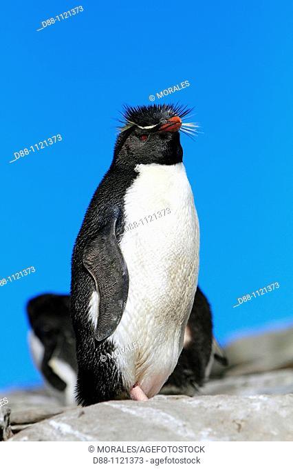 Western Rockhopper Penguin (Eudyptes chrysocome chrysocome). Sealion Island, Falkland Islands