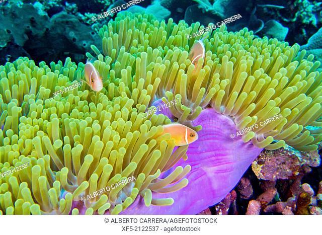 Pink Anemonefish, Amphiprion perideraion, Magnificent Sea anemone, Ritteri anemone, Heteractis magnifica, Bunaken National Marine Park, Bunaken, North Sulawesi