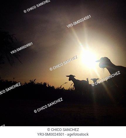 A silhouette of goats walking at sunset in Prado del Rey, Sierra de Cadiz, Andalusia, Spain