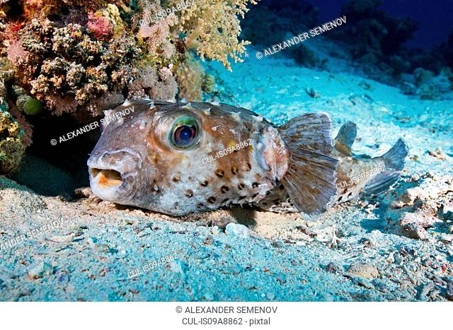 Spotbase burrfish (Cyclichthys spilostylus)