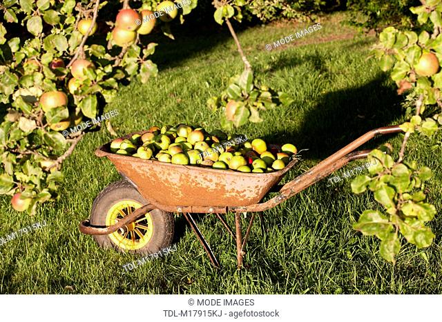 Windfall apples in a wheelbarrow