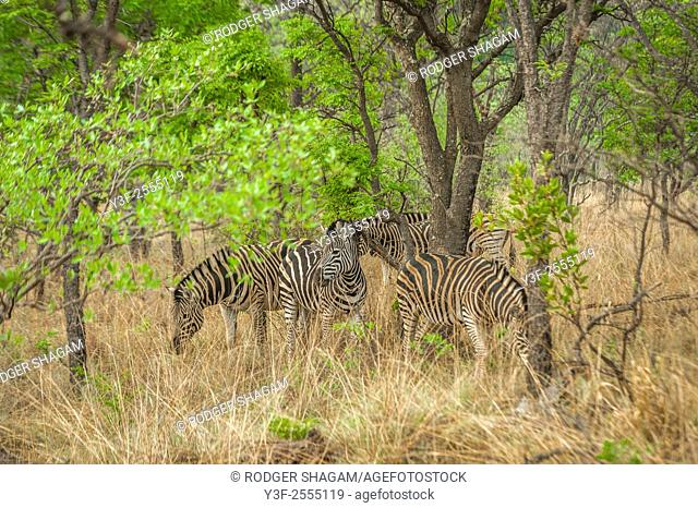 A group of Burchell's Zebra graze quietly in the shade - constantly alert for the sound or smell of predators
