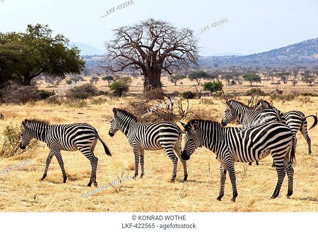 Zebras, Equus quagga, with Baobab, Adansonia digitata, Ruaha National Park, Tanzania, Africa
