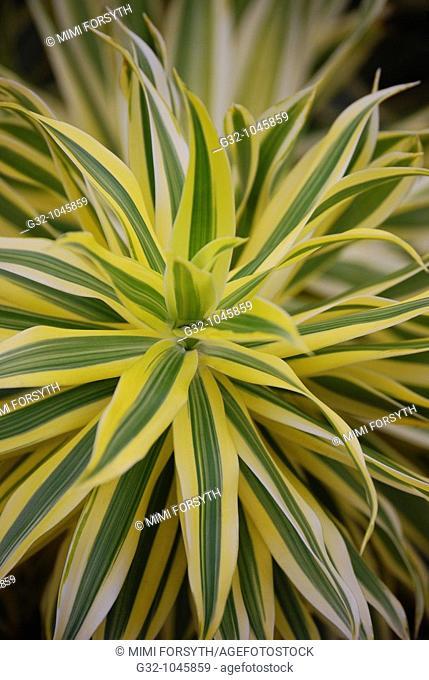 Yellow Malaysan Dracaena (Dracaena reflexia)