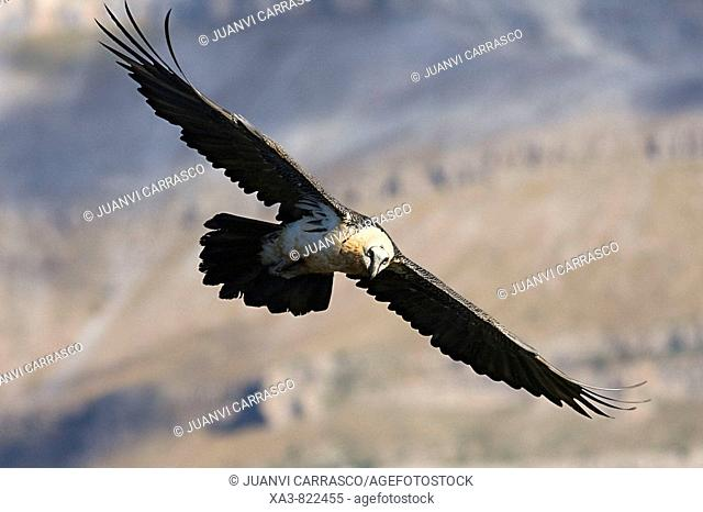 Bearded vulture, Gypaetus barbatus, in flight