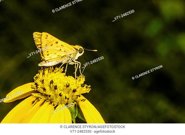 Fiery Skipper Butterfly (Hylephilus phyleus) Feeding on Cutleaf Daisy (Engelmannia peristenia) Flower