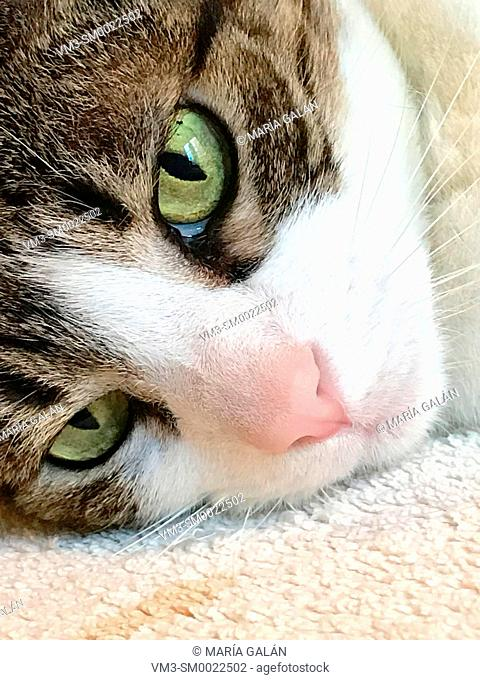 Tabby and white cat's face lying