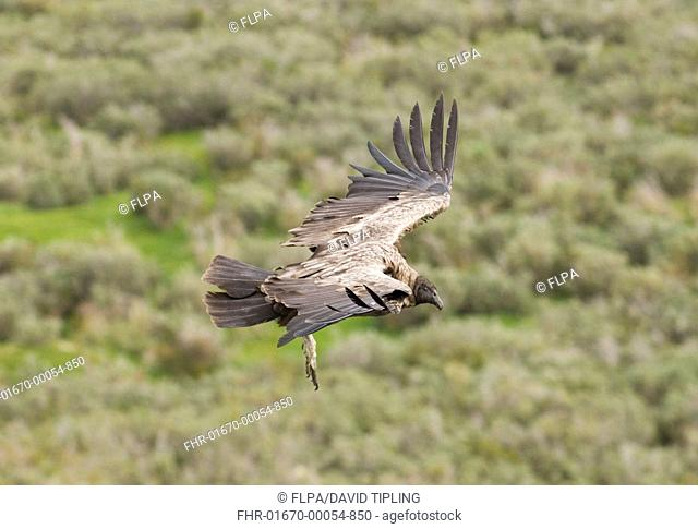 Andean Condor Vultur gryphus immature, in flight, Patagonia, Chile, november