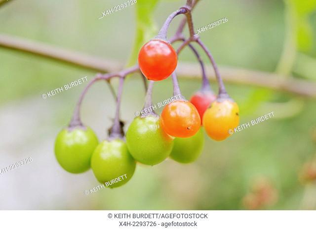 Solanum dulcamara, Woody Nightshade or Bittersweet berries, Wales, UK