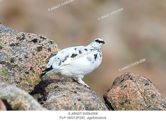Rock ptarmigan (Lagopus muta / Lagopus mutus), male foraging among rocks in winter plumage, Scotland, UK