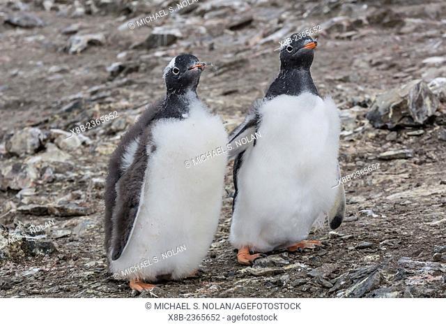 Gentoo penguin chicks molting, Pygoscelis papua, Hannah Point, Livingston Island, South Shetland Islands, Antarctica