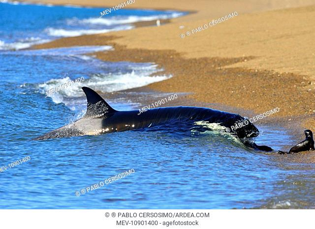 Orca / Killer Whale (Orcinus orca). hunting South American Sea Lion - Peninsula Valdes, Patagonia, Argentina, South Atlantic