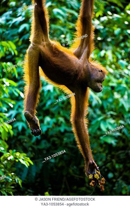 Sabah Malaysia, Borneo, Sepilok  Orang Utan eating fruit whilst hanging from a rope in the Sepilok Orangutan Rehabilitation Centre