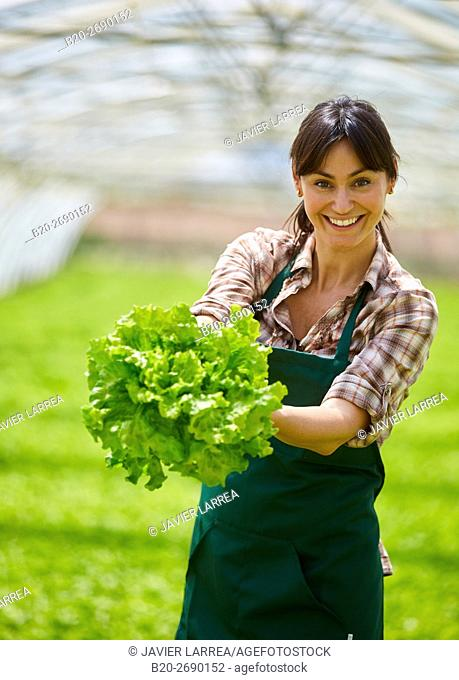 Farmer, harvesting lettuces, Greenhouse, Agricultural field, Villafranca, Navarre, Spain