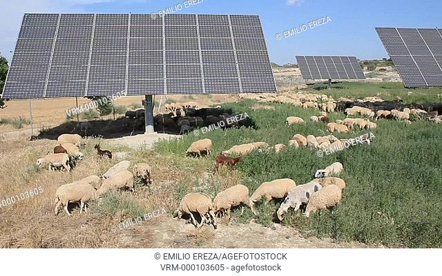 Flock and solar panels. Arbeca, Lleida, Catalonia, Spain