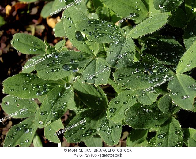 Clover leaf with rain drops
