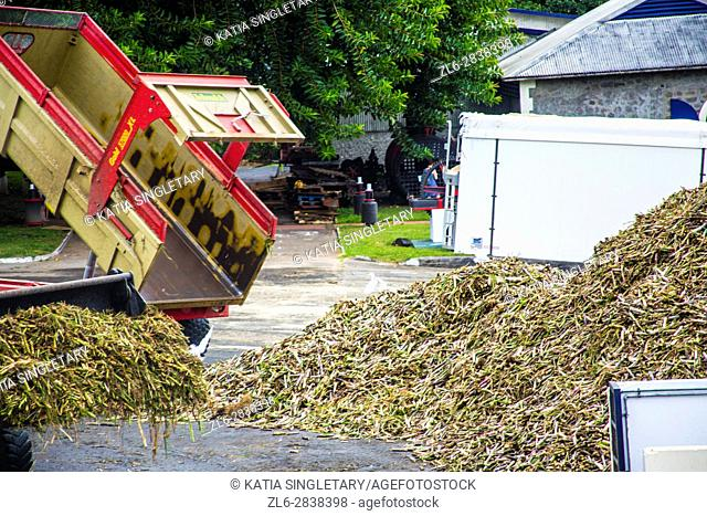 Red dump truck dumping sugar cane that have been shredded for the use of rum