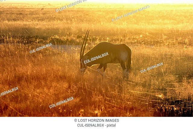 Oryx grazing at sunset, Etosha National Park, Namibia