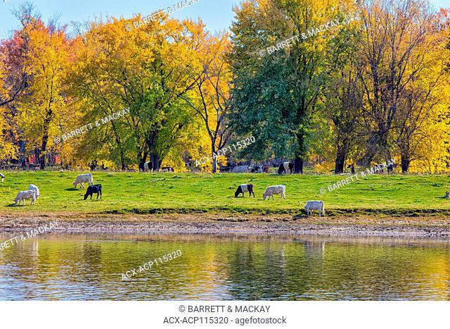 Cattle grazing on island, Saint John River, Sheffield, Sunbury County, New Brunswick, Canada