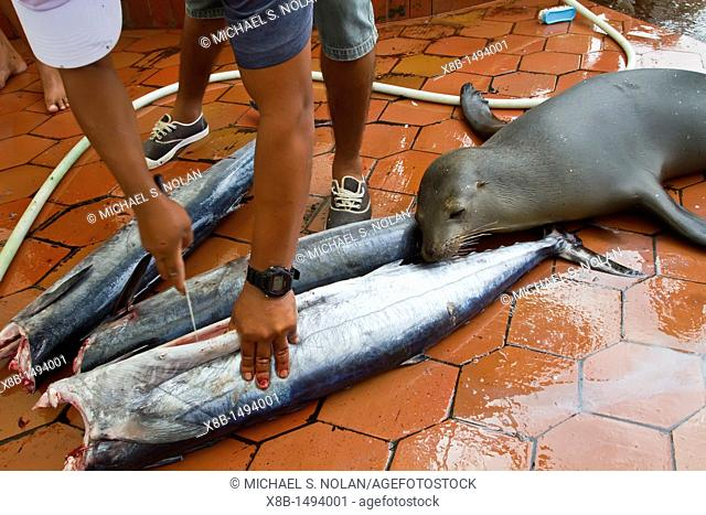 Scenes from the fish market in the port town of Puerto Ayora, Santa Cruz Island, Galapagos Island Archipelago, Ecuador MORE INFO Puerto Ayora is the largest...