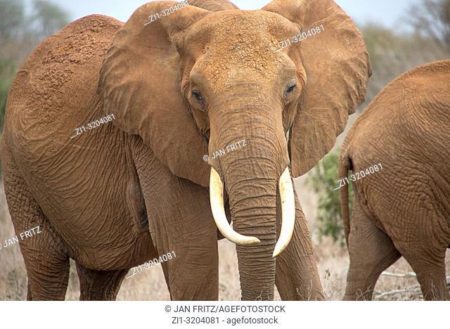 angry elephant in Tsavo East Wildpark, Kenya