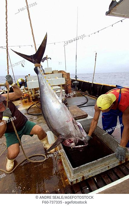 Fishermen lower yellowfin tuna, Thunnus albacares, into freezer, offshore commercial longline tuna fishing, Brazil, Atlantic Ocean