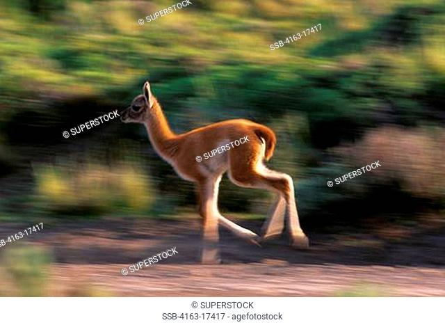 CHILE, TORRES DEL PAINE NAT'L PARK, GUANACO BABY CHULENGO, AT PLAY, RUNNING HIGH SPEED