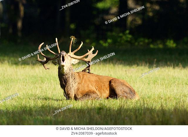 A Red deer (Cervus elaphus) male lying in a meadow at the edge of the woods
