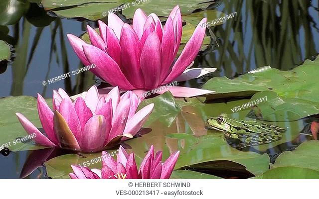 Wasserfrosch sitzt auf einem Blatt, neben pinkfarbenen Seerosenbl?ten