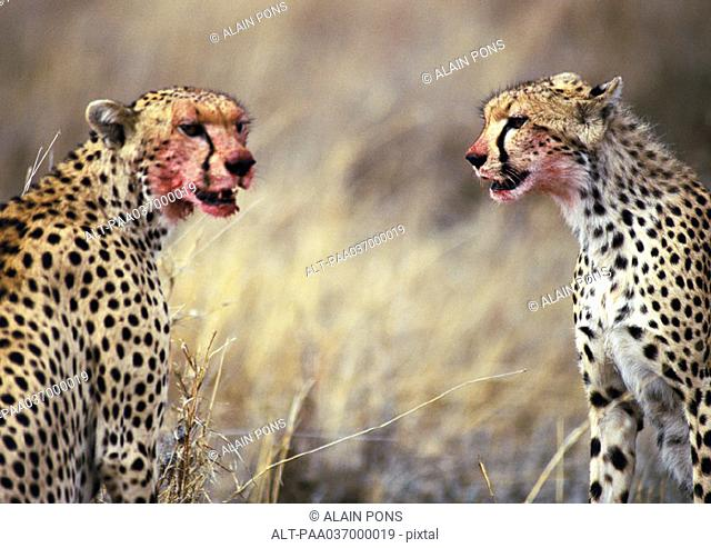 Africa, Tanzania, cheetahs sitting with blood-stained faces