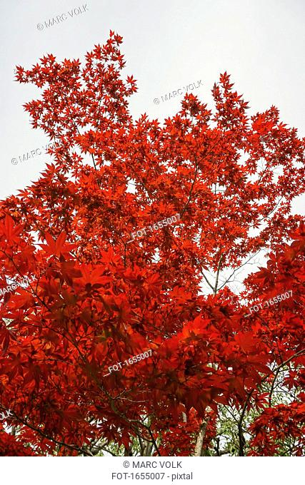 Low angle view of red maple tree against sky, Nara, Japan