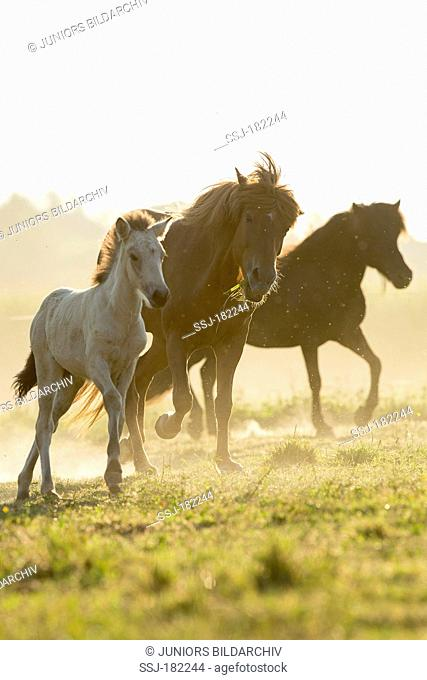 Icelandic Horse. Mares with foals trotting on a pasture