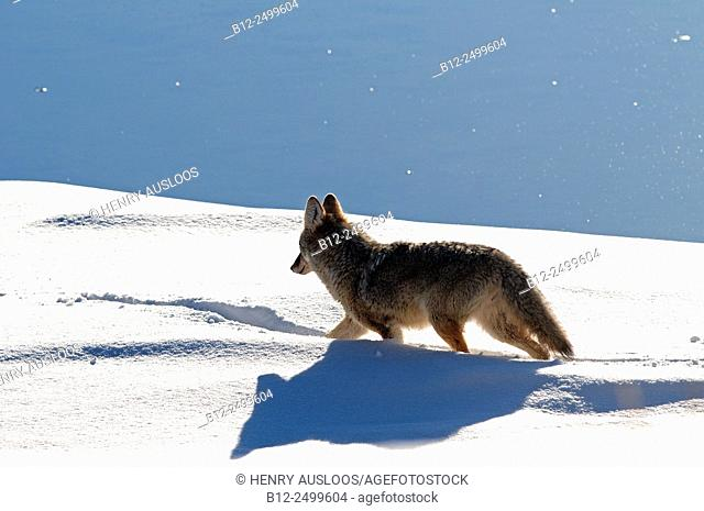 Coyote (Canis latrans) - Walking in the snow - Yellowstone - USA