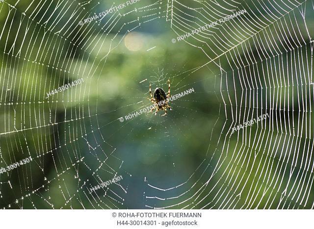 Spinne in ihrem Netz im Morgentau