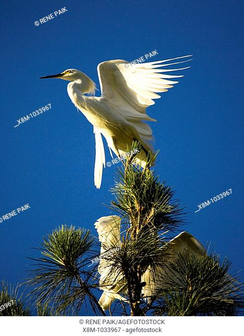 Great egret (Ardea alba, fam. Ardeidae) parent attempts to escape its ravenous chicks by climbing high up a tree. The artificial estuaries and lagoons in the...