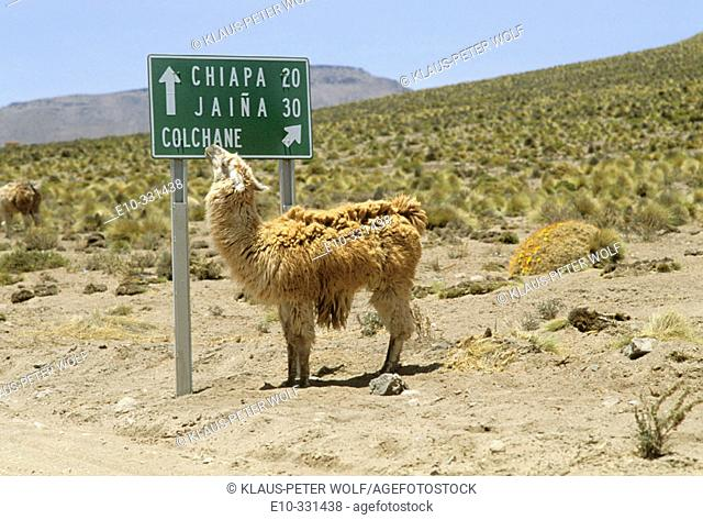 Lama reading street sign to Chiapa Jaina Colchane in northern Chile