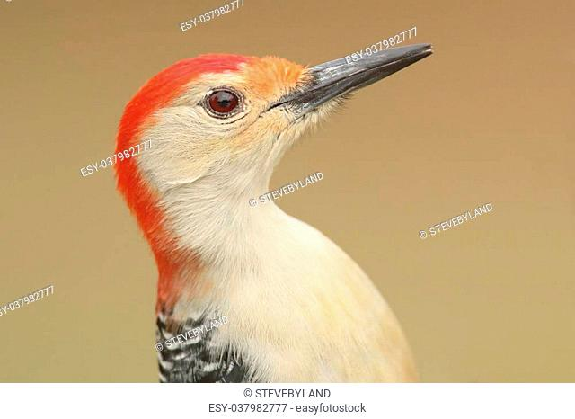 Male Red-bellied Woodpecker (Melanerpes carolinus) close-up with a tan background
