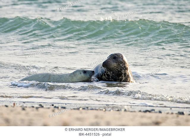 Grey seal (Halichoerus grypus), with pup in water, Heligoland, Schleswig-Holstein, Germany