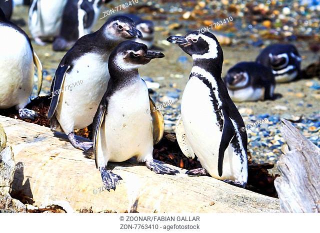 Magellanic penguin in Otway Sound Punta Arenas Patagonia chile South america
