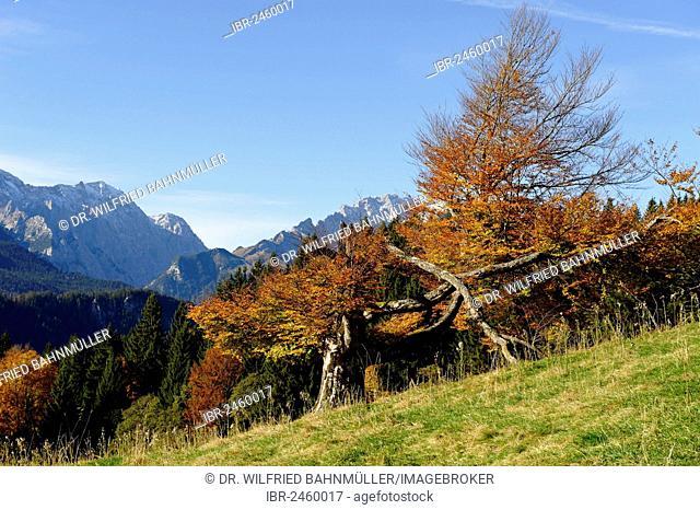 View from Elmauer Alm alp, near Mittenwald, Werdenfelser Land region, Upper Bavaria, Bavaria, Germany, Europe