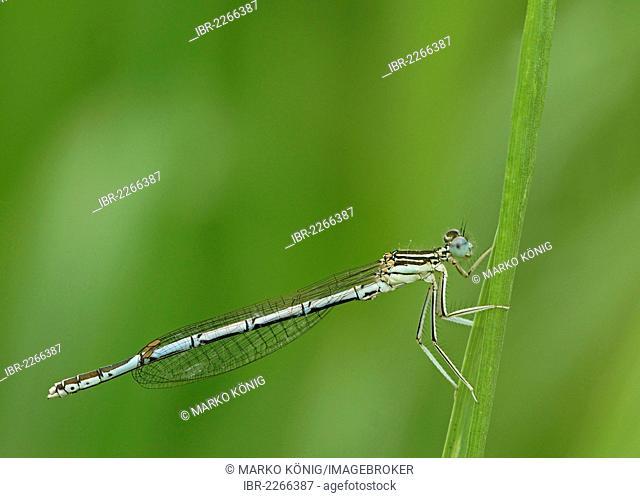 White-legged Damselfly or Blue Featherleg (Platycnemis pennipes), female, Bad Hersfeld, Hesse, Germany, Europe