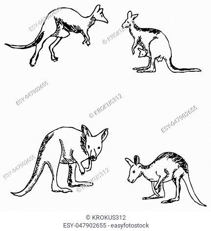 Kangaroo. A sketch by hand. Pencil drawing. Vector image