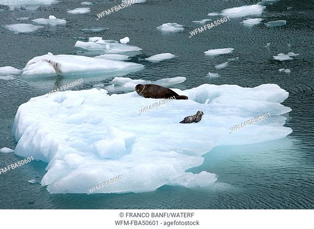 harbor seal, mother with pup on iceberg, Phoca vitulina, LeConte Glacier Bay, USA, Alaska