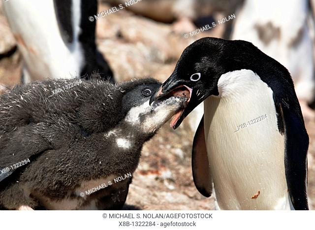 Adult Adelie penguin Pygoscelis adeliae feeding chick a regurgitated meal on Paulet Island on the Northeast side of the Antarctic Peninsula