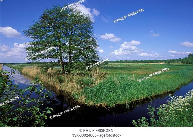 Common Alder (Alnus glutinosa) on marsh during early spring with flowering Cow Parsley (Anthriscus sylvestris), The Netherlands, Overijssel