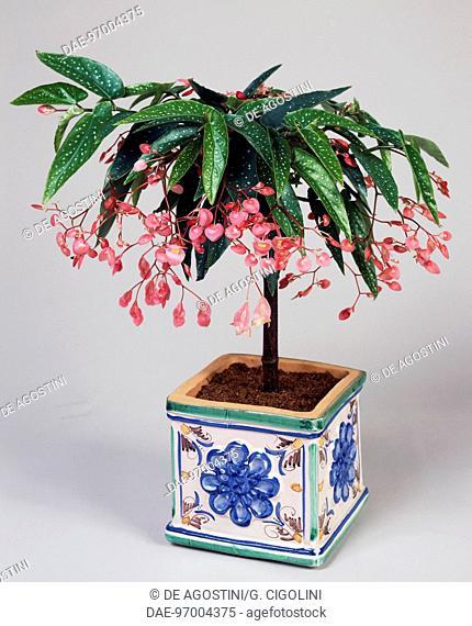 Begonia (Begonia x corallina), Begoniaceae
