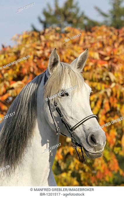 Paso Fino grey mare in front of autumn foliage