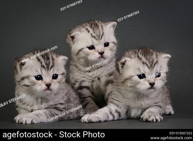Three British Shorthair kittens