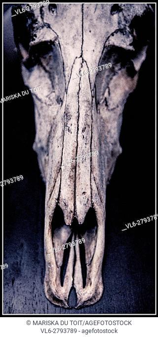 Mounted Antelope skull