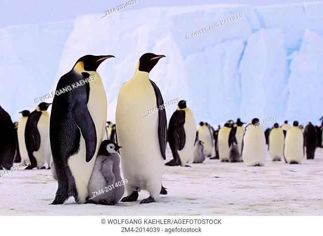 ANTARCTICA, RIISER-LARSEN ICE SHELF, EMPEROR PENGUIN COLONY, COUPLE WITH CHICK